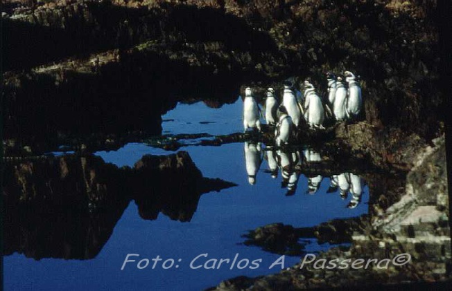 Pinguis Reflex B